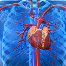 Illustration eines menschlichen Herzes